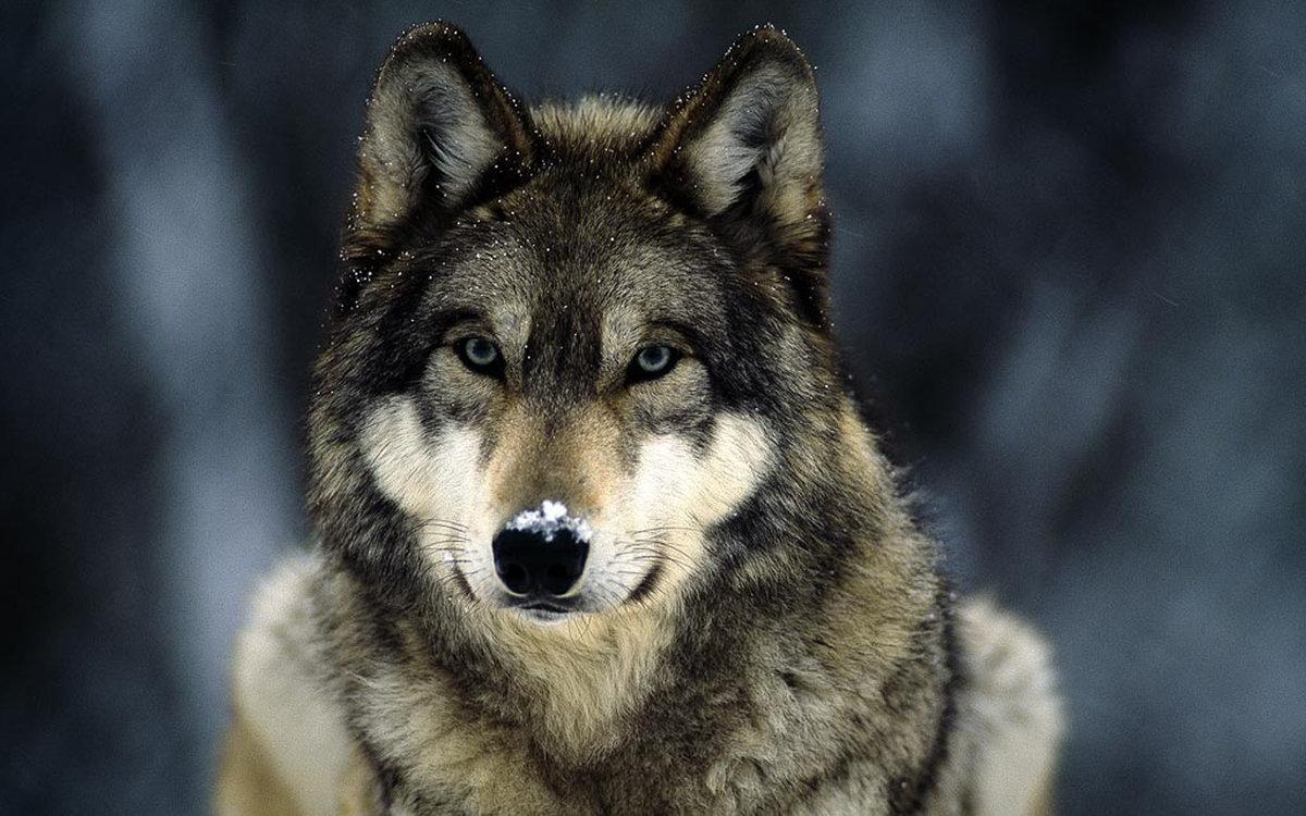野生动物摄影 狼图腾