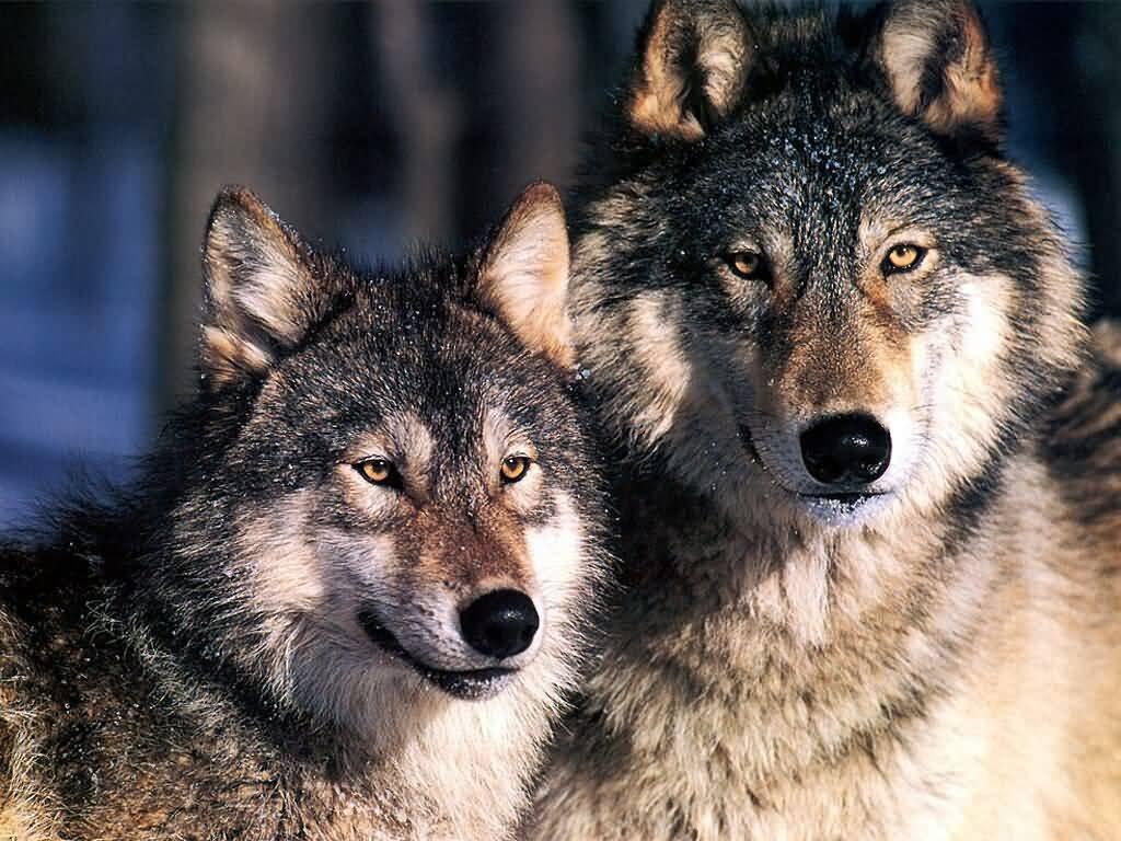 你成为一只狼王,才能带出一个狼群!