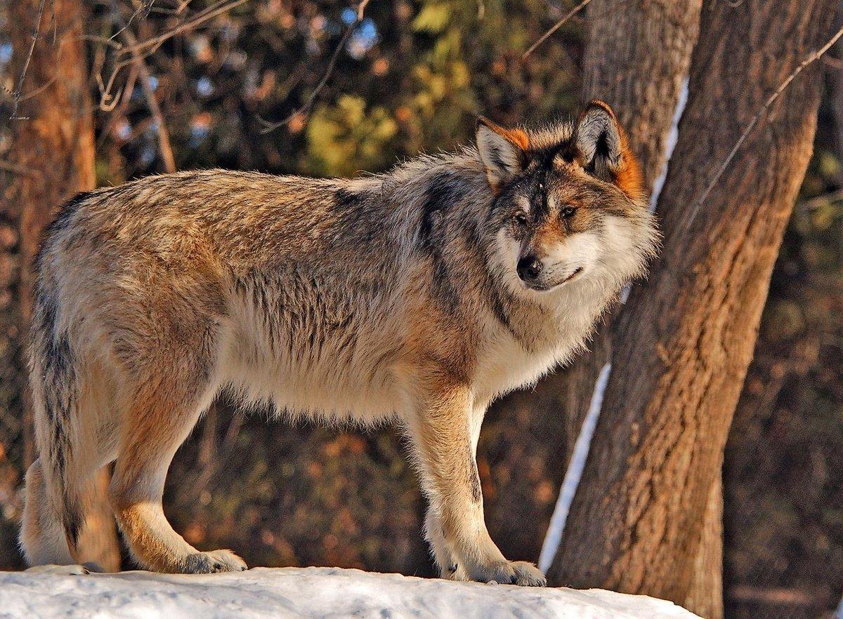 壁纸 动物 宽屏 狼 桌面 1200_882图片