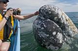 墨西哥咸水湖灰鲸出没 与游客零距离接触