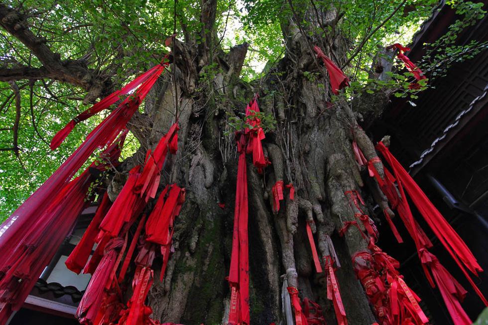 聚焦成都十大古树之首 1800余岁树高30余米