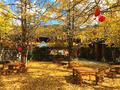 11月最美的银杏天堂 这样金色的秋才浪漫