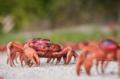 澳圣诞岛迎来年度螃蟹大迁徙