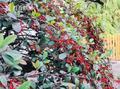 秋叶落果实现 上海植物园进入最佳观果期