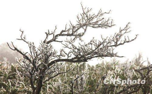 组图:贵州森林公园出现雾凇美景