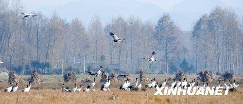 组图:近千只黑颈鹤到贵州湿地越冬