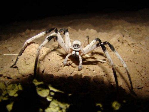 科学家在沙漠中发现罕见大蜘蛛。