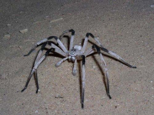这种蜘蛛的腿跨度是5.5英寸(13.97厘米),是中东一种最大的蜘蛛。