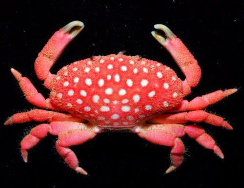 新蟹种看上去像柔毛新花瓣蟹。