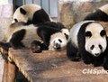 组图:10只世博熊猫宝宝定于20日集体亮相