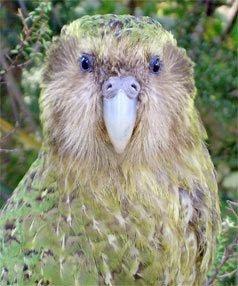 """好色鹦鹉被新西兰总理任命为""""政府发言鸟"""""""