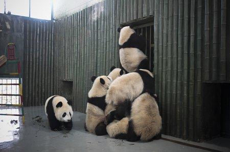 世博熊猫换上春季食谱 帮助熊猫宝宝保持身材