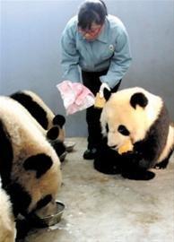"""世博熊猫饲养员""""转型""""接待员 习惯上海生活"""