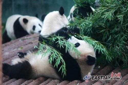 来沪3个月世博熊猫均增肥 30万游客睹国宝风采(图)