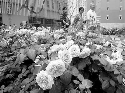 法国罗阿大区千种玫瑰花争相开放为世博献礼