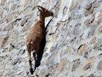 高清:意大利野山羊为吃盐攀爬近乎垂直水坝