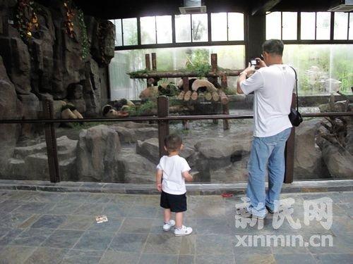 世博熊猫入住野生动物园 憨态可掬惹人喜爱