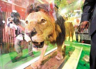 """图文:世博园肯尼亚馆新添威猛""""狮子王"""""""