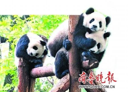 """世博大熊猫最爱享用""""下午茶"""" 神经比较大条"""