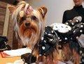 高清:宠物狗时装大赛上演 众狗狗争相扮靓
