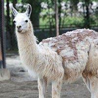 世博带动野生动物园热 草泥马惹人关注