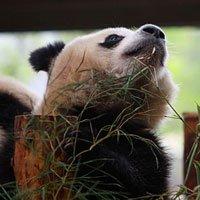 世博大熊猫――新一代寂寞哥惹人怜爱