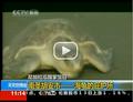 视频:尼加拉瓜湖看海龟 火山之国赏斗牛表演