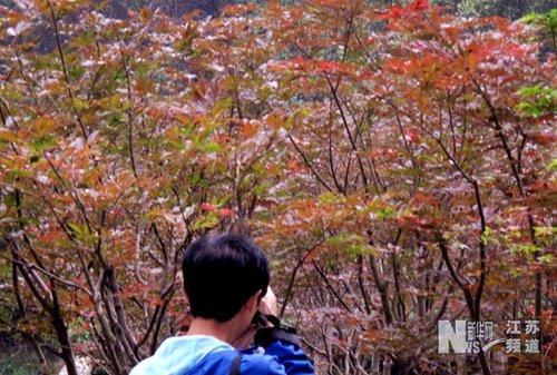 江苏南京市栖霞山景区漫山遍野红叶引人入胜
