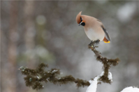 萌宠庄园:北冰洋的鸟类生活