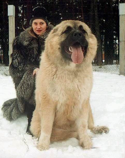 探秘世界最大狗:高加索犬人称