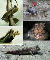 七种会行走的鱼:条纹蛙鳚在陆地爬行20分钟