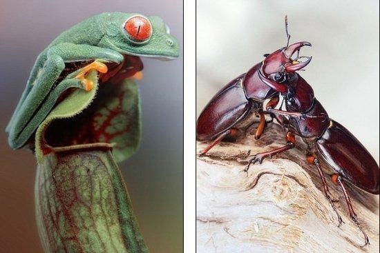 据国外媒体11月29日报道,德国生物微距摄影大师伊戈尔斯瓦诺维茨(Igor Siwanowicz)利用微距摄影技术捕捉到昆虫和其它野生动物的精彩瞬间,给我们带来强烈的视觉震撼!看上去就像儿童经典动画片《爱丽丝梦游仙境》(Alice in Wonderland)一般。   实际上,现年35岁的伊戈尔是一位野生动物专家,摄影只是他的爱好。他的愿望是让人们喜欢上这些惊人的动物,从跳蛛、锹形虫到变色龙,他希望人们看到这些长相奇怪的动物所隐藏的内在美。他还把其中一些野生动物作为宠物喂养着。伊戈尔说:我希望你们