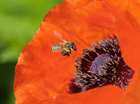本周最佳野生动植物图出炉:罂粟花上的蜜蜂