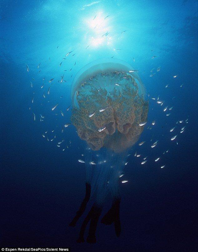 [美图] 摄影师拍摄挪威海湾美丽水母 颇似外星生物多奇特  - 高山松 - gaoshansong.good 的博客