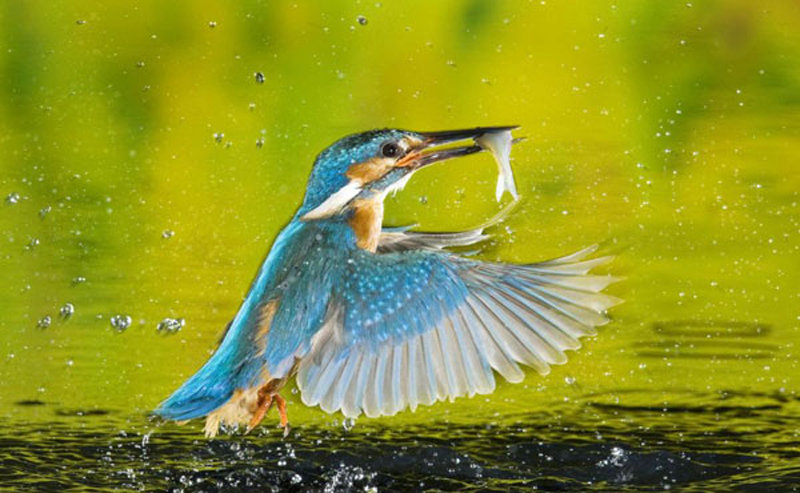 摄影师抓拍蓝翠鸟捕鱼的精彩瞬间 - 科学探索 - 科学探索