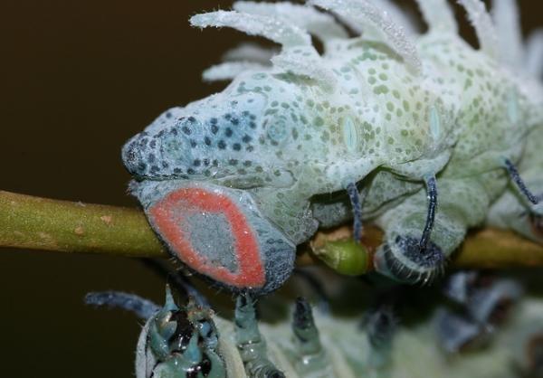 [动物世界]组图:世界上最大的飞蛾 体型有人手掌大小