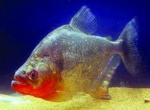 汉口江中捞起 食人鱼 专家称不攻击人类图片