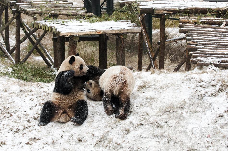 1月5日上午,长沙生态动物园大熊猫馆内,大熊猫们早早地走出了房间