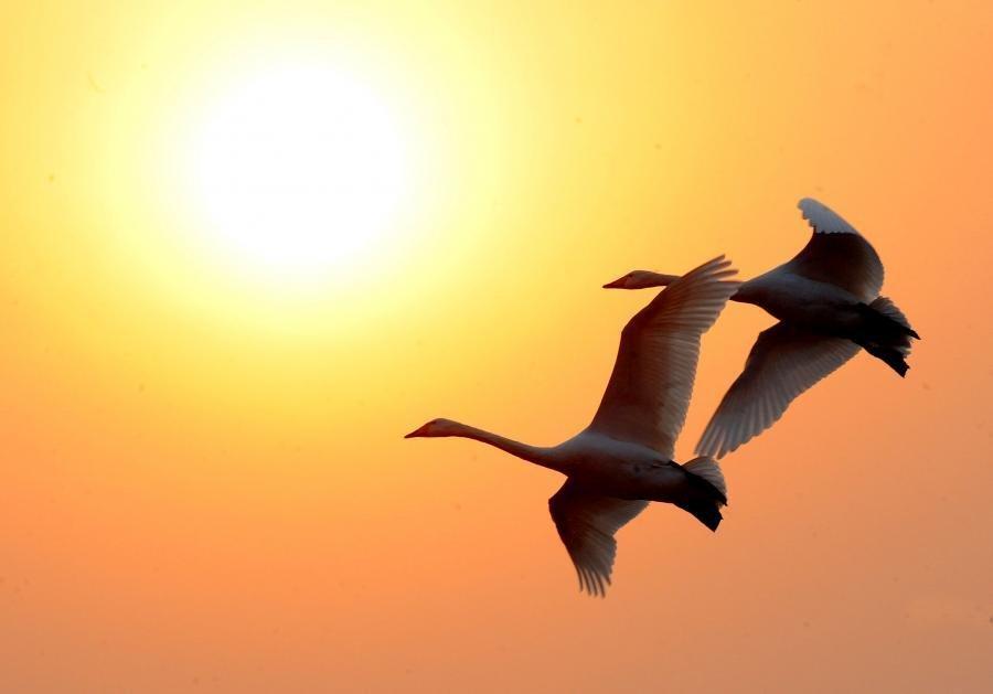 两只白天鹅迎着夕阳展翅飞翔.-高清美图 天生舞者 白色精灵图片