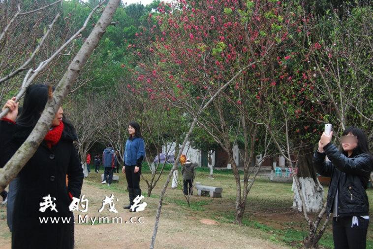 茂名信宜游客强摘公园景区桃花 男女老少爬树抢图片