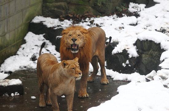 资料图:2013年1月5日,杭州动物园游客搓雪球砸狮子取乐
