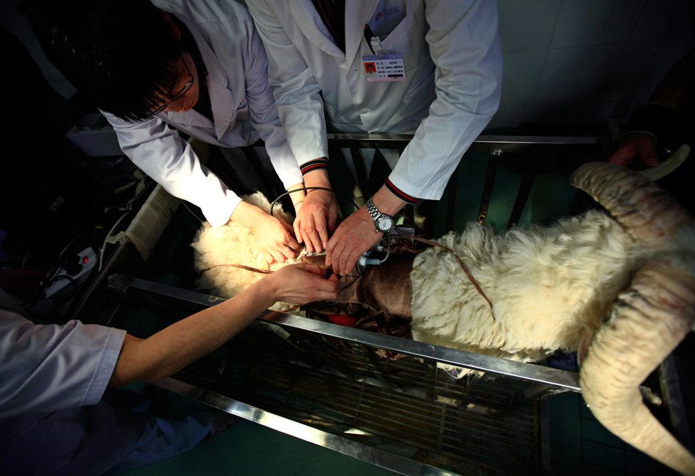 """中国""""人工心脏""""实验羊存活超过60天"""