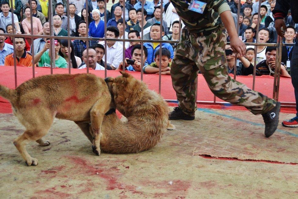 据介绍,本次斗狗大赛,由贵州省凯里市炉山斗狗协会主办,大赛有