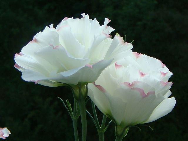 8月,花形酷似玫瑰,在过去的婚礼中常和玫瑰一起作为主花装饰新