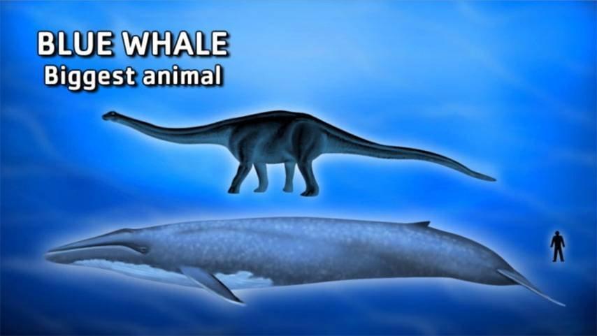 11、蓝鲸地球上最大的动物就是蓝鲸.历史曾经记录的最大鲸鱼体重