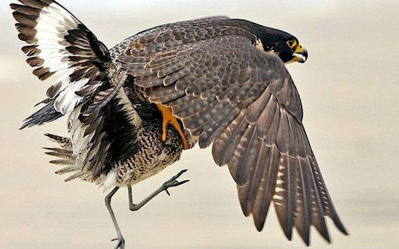 摄影师记录游隼捕食猎物的全过程