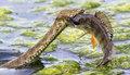蛇与鲈鱼生死对决