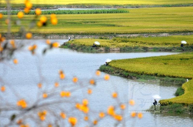 温岭 稻田丰收 美景如画图片