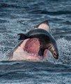 海豹鲨口脱险