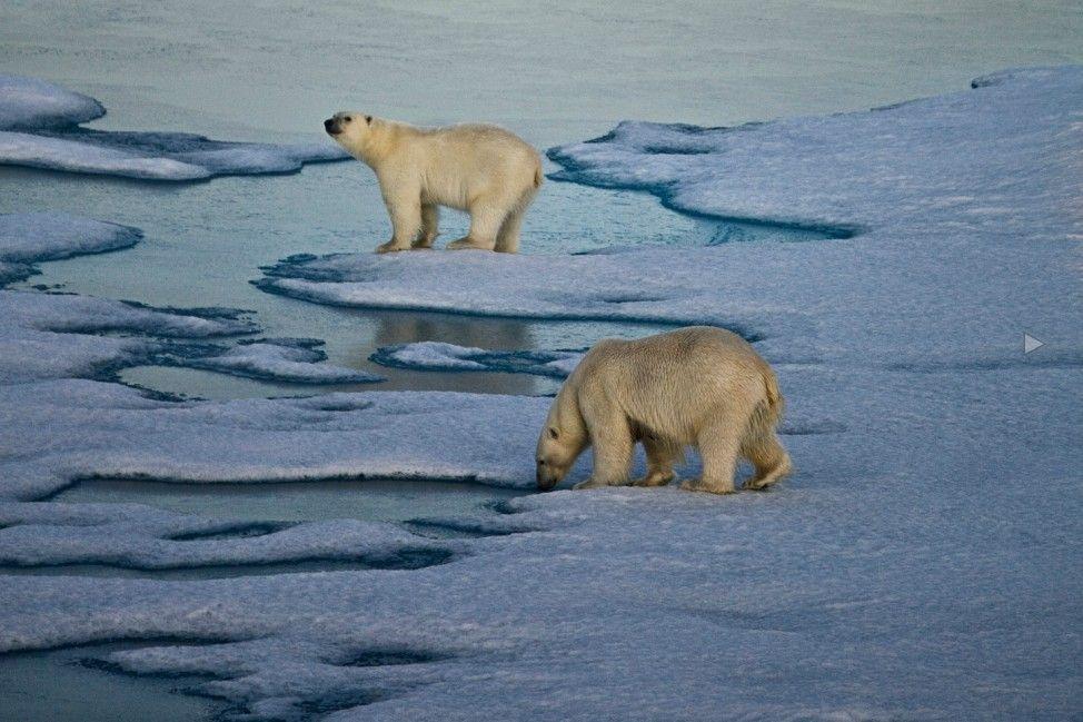 冰雪消融导致北极熊昔日的家园遭到一定程度的破坏,在未来的不久北极